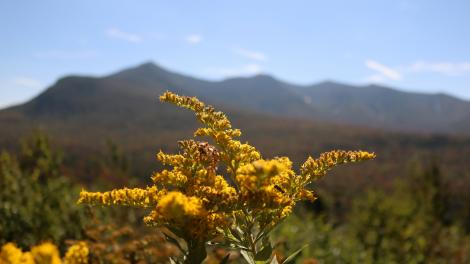 绿山国家森林内开得正欢的麒麟草