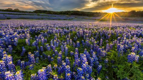 Muleshoe Bend Recreation Area 休闲区的蓝帽花花田